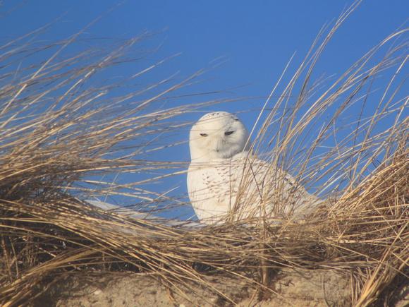 Snowy Owl on Cape Cod beach