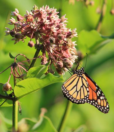 Monarch Butterfly on Milkweed