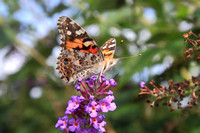 American Painted Lady August 2012 irruption in MA
