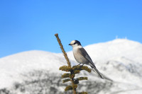 Gray (Canada) Jay and Mount Washington