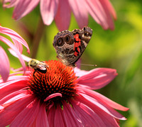 American Painted Lady and Bee on Coneflower