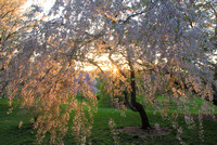 Arnold Arboretum Cherry in Evening Light