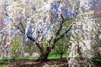 Arnold Arboretum Flowering Cherry in Spring