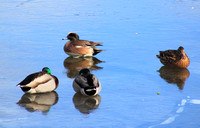 American Wigeon and Mallards Barton Cove Feb 2016