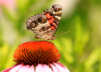 American Painted Lady on Coneflower 2