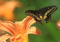 Black Swallowtail on Day Lily