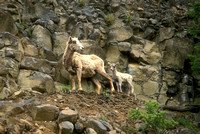 Bighorn Sheep and Calf on Cliff