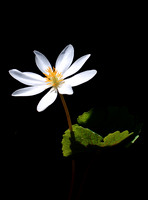 Bloodroot in Shadow