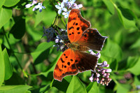 Eastern Comma on Lilac