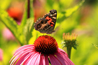 American Painted Lady on Coneflower