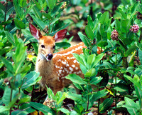 White tailed Deer Fawn in Milkweed
