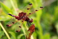 Calico Pennant Male 2