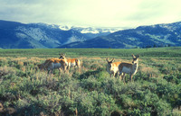 Pronghorn Antelopes in Yellowstone Valley zoomed