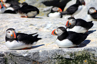 Atlantic Puffins sitting