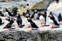Atlantic Puffin Colony on Rock Island