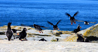 Atlantic Puffins flying