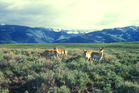 Pronghorn Antelopes in Yellowstone Valley