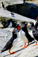 Atlantic Puffins bickering