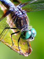 Blue Dasher Eyes