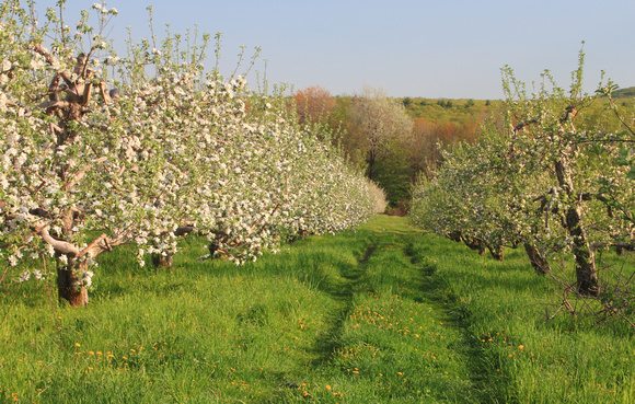 Apple Orchard in Spring Outlook Farm