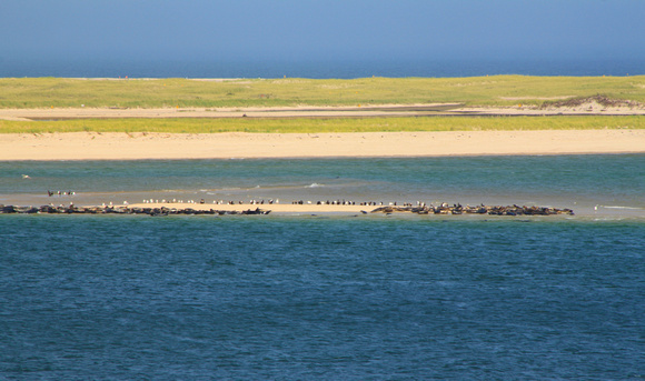 Chatham Gray Seal Colony on Sandbar