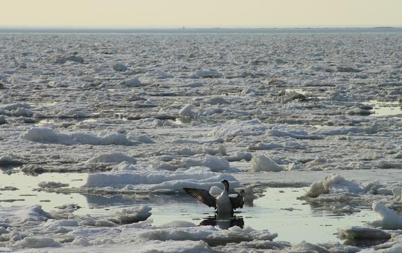 Cape Cod Bay Ice and Loon Truro March 2015