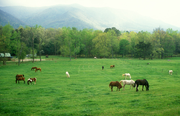 Cades Cove Horses in Fields