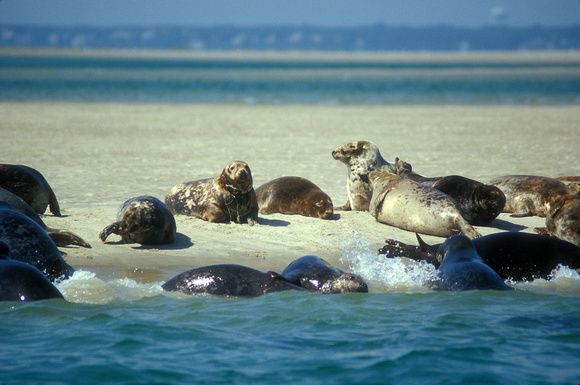 Gray Seal Colony Monomoy Island Cape Cod