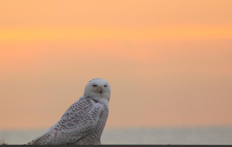 John Burk Photography The Great Snowy Owl Irruption Of