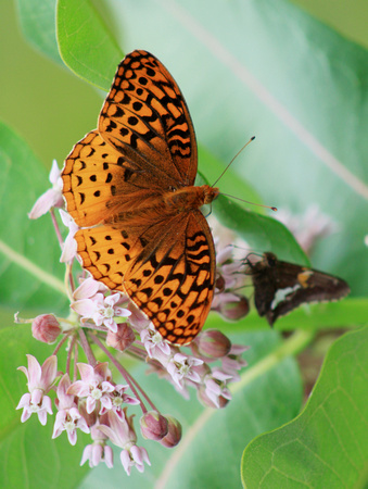 Great Spangled Fritilary and Silver Spotted Skipper on Milkweed