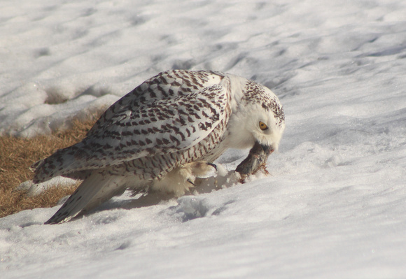 Snowy Owl catching mouse