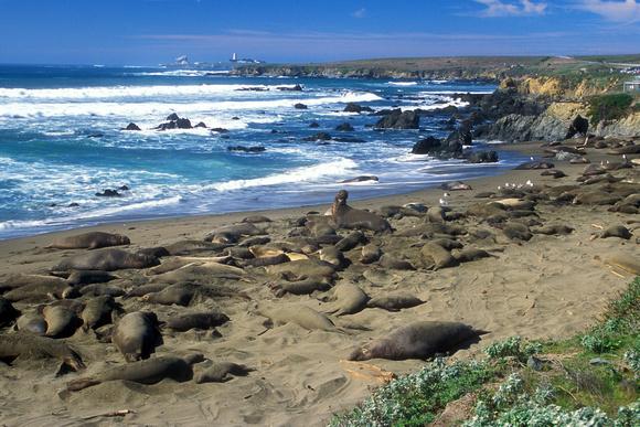 john burk wildlife elephant seal rookery san simeon