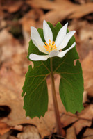Bloodroot Emerging from Leaf