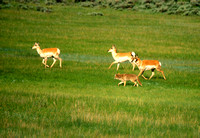 Pronghorn Antelopes Harrassed by Coyote