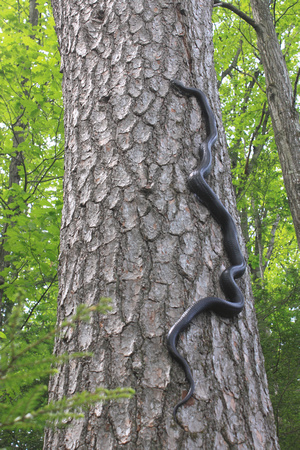 how to stop rats climbing trees